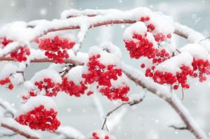 32719030-Snow-covered-mountain-ash-Stock-Photo